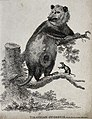 An opossum climbing a tree while one of its young has left t Wellcome V0021257EL.jpg