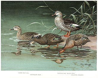 Allan Brooks - Painting from A natural history of the ducks. Volume II (1923)