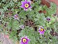 Anemone pulsatella - The Pasque Flower. (4523597127).jpg