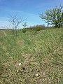 Anemone sylvestris sl37.jpg