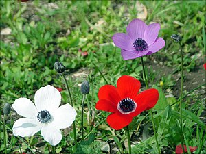 Wildlife of Israel - Anemone coronaria, a protected flower that grows wild all over Israel