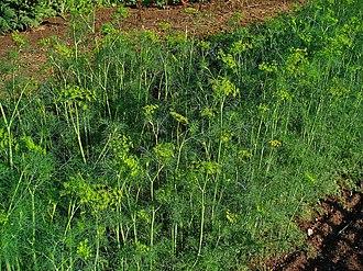 Dill - Dill plants