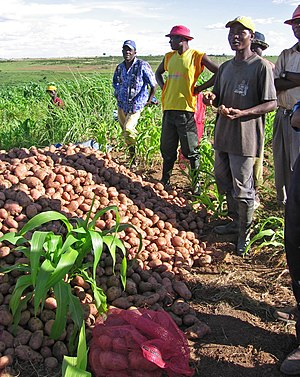 Agriculture in Angola - Angolan potato farmers, 2011