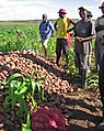 Angolan Potato Farmers (5687186090).jpg