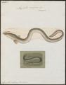 Anguilla vulgaris - 1700-1880 - Print - Iconographia Zoologica - Special Collections University of Amsterdam - UBA01 IZ15200012.tif
