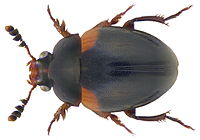 Anisotoma humeralis (Fabricius, 1792) (3635597827).jpg