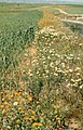 Annual Marigold and Chrysanthemum. Bartley. Meknes (37708155336).jpg