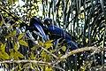 Anodorhynchus hyacinthinus Parque Nacional Pantanal Matogrossense 2015-07-24.jpg