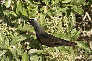 Funafuti Conservation Area - Black noddy calling at colony