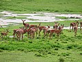 Antelope, Lake Manyara National Park - 2015-01-13 - 02-34-49.jpg
