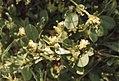 Anthyllis tetraphylla or Physanthyllis. Bladder vetch. Volubilis ruins. April 1972 (37085977113).jpg