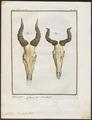 Antilope bubalis - schedel - 1700-1880 - Print - Iconographia Zoologica - Special Collections University of Amsterdam - UBA01 IZ21400129.tif
