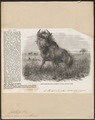 Antilope gnu - 1856 - Print - Iconographia Zoologica - Special Collections University of Amsterdam - UBA01 IZ21400275.tif