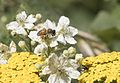 Apis mellifera - Bal arısı 01-2.jpg