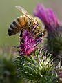 Apis mellifera - Carduus crispus - Keila.jpg