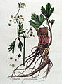 Apium graveolens — Flora Batava — Volume v4.jpg