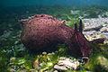 Aplysia californica, Monterey.jpg
