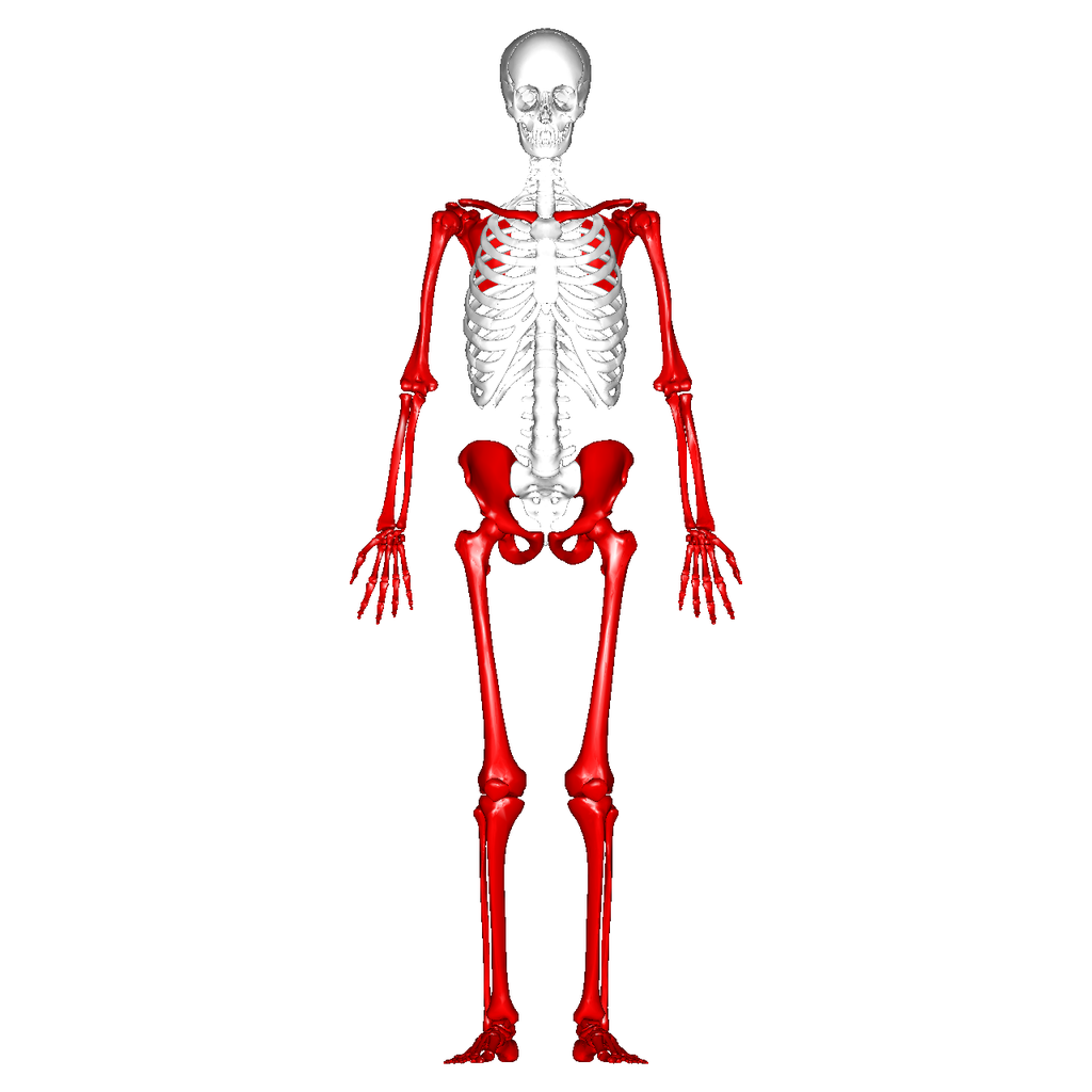 the appendicular skeleton Chapter 8: the appendicular skeleton figure 8-1 • the appendicular skeleton is made up of all bones other than the axial skeleton, including the bones of the limbs.