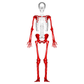 Appendicular skeleton - anterior view.png