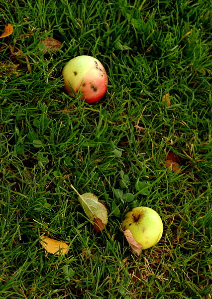 File:Apples on Ground (8399553959).jpg