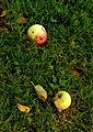 Apples on Ground (8399553959).jpg