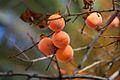 Apricots (4229248594).jpg