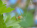 Araniella cucurbitina - Kürbisspinne - cucumber green spider II.jpg
