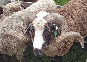 Arapawa sheep - Image: Arapawa merino