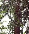 Araucaria-hunsteinii-trunk.jpg
