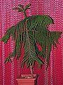 Araucaria heterophylla20140904 27.jpg