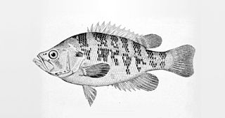 Sacramento perch Species of fish