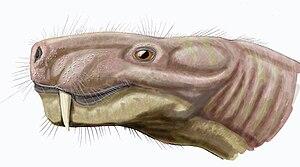 Arctognathus - Head of A. curvimola