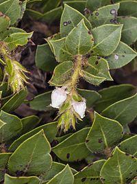 Arctostaphylos imbricata (San Bruno Mountain manzanita) (32509806381).jpg