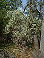 Arctostaphylos viscida - Flickr - brewbooks (4).jpg