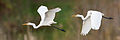 Ardea alba modesta composite - Gould's Lagoon.jpg