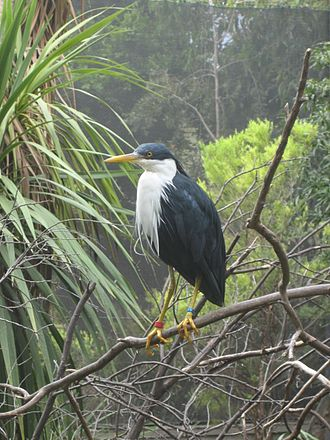 Adelaide Zoo - A pied heron in one of the zoo's walk-in aviaries