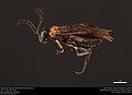 Argid sawfly (Argidae, Hemidianeura texana (Norton)) (36532786900).jpg