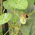 Aristolochia fimbriata-IMG 5496.jpg