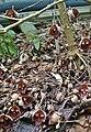 Aristolochia salvadorensis-3.jpg