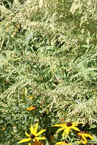 Artemisia vulgaris SCA-6364.jpg