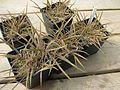 Arthropodium candidum maculatum - Flickr - peganum.jpg