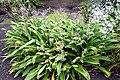 Arthropodium cirrhatum in Auckland Botanic Gardens 02.jpg