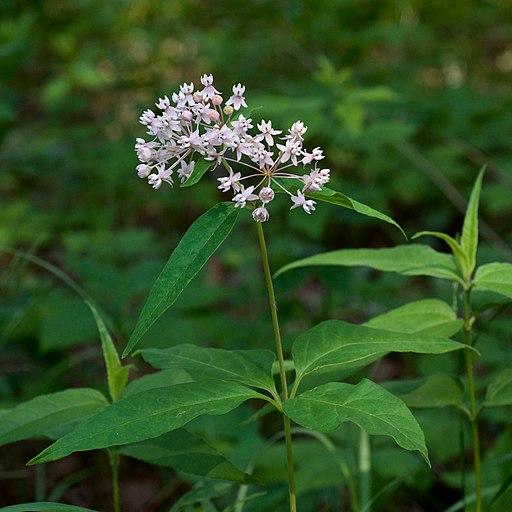 Growing Milkweed In Canada