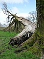 Ash tree cleaved by a lightning bolt - geograph.org.uk - 1299201.jpg