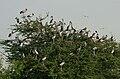 Asian Openbill (Anastomus oscitans) in Uppalpadu, AP W IMG 2767.jpg