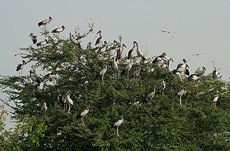 Asian openbill - Nest colony (India)