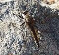 Asilidae. Robberfly (33391821942).jpg