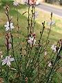 Asphodelus fistulosus (Xanthorrhoeaceae) near a road.jpg