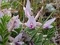 Astragalus crassicarpus (3306011584).jpg