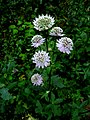 Astrantia major IMG 4754^.jpg